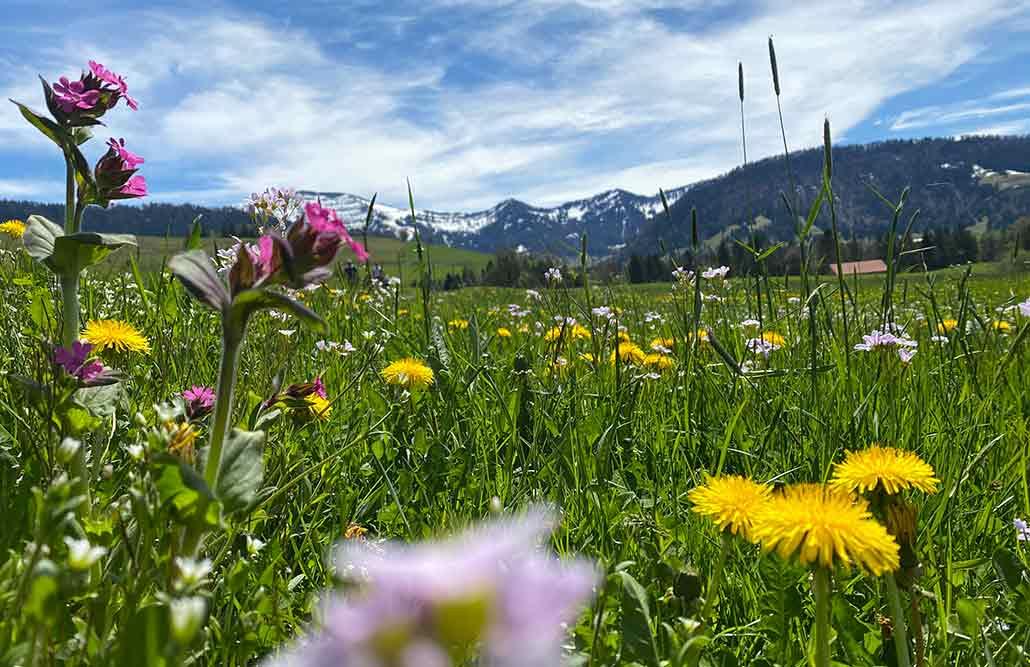 Bergwiese Allgäu