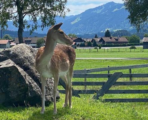 Streichelzoo Burgberg im Allgäu Reh