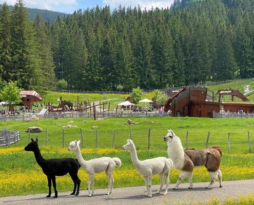 Abenteuerspielplatz Allgäu Alpakas Lamas