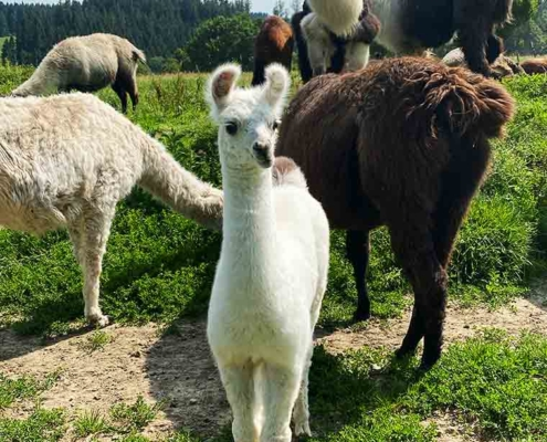 Alpaka Wanderung Allgäu Lamas