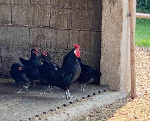 Schwäbisches Bauernhofmuseum Illerbeuren Hühner