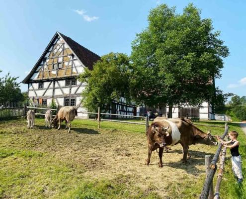 Schwäbisches Bauernhofmuseum Illerbeuren Kühe