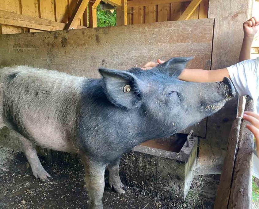 Schwäbisches Bauernhofmuseum Illerbeuren Schwein