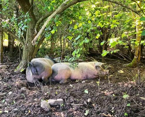 Schwäbisches Bauernhofmuseum Illerbeuren Schweine