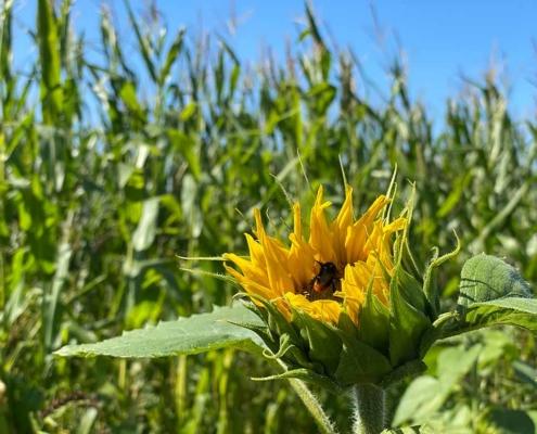 Maislabyrinth Kempten Sonnenblumen Verkauf